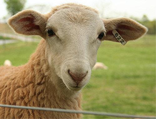 Goat and Sheep Sponsorship
