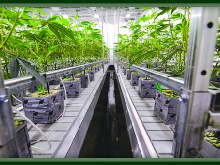 Why You Need Epoxy Flooring For Your Cannabis or CBD Facility