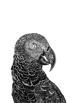 mascarene parrot AGLAOPHOTIS a3 franck a