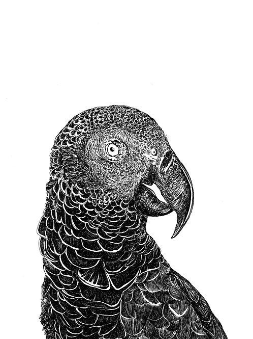 mascarene parrot AGLAOPHOTIS