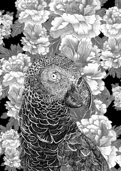 mascarene parrot AGLAOPHOTIS nero bianco