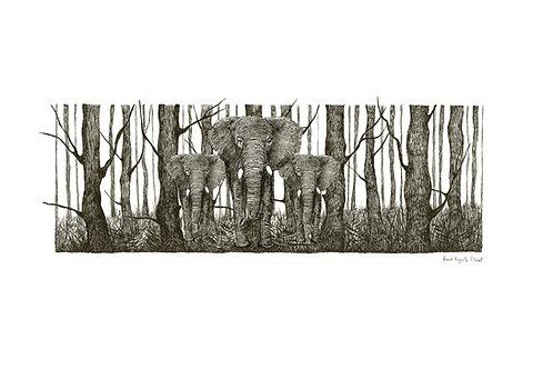 elephantus coronare