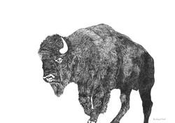 bison tous droits réservés ADAGP Paris 2