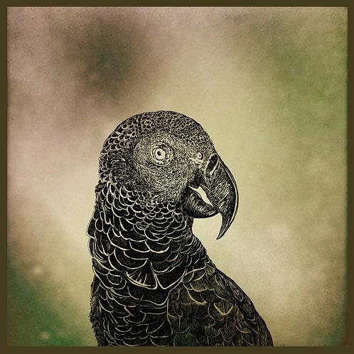 mascarene parrot AGLAOPHOTIS carré