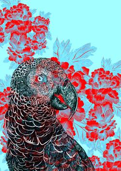 mascarene parrot AGLAOPHOTIS cyanus fran