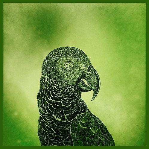 mascarene parrot AGLAOPHOTIS virids carré