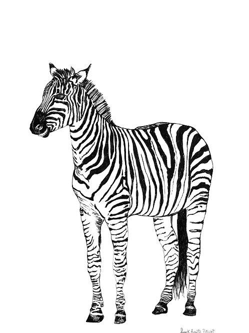zebrau