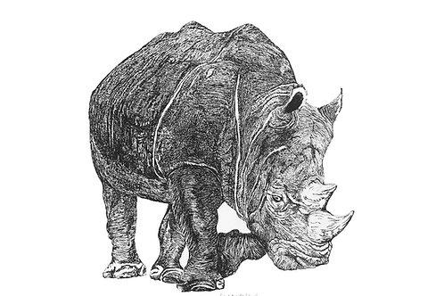 Ceratotherium simum bianco