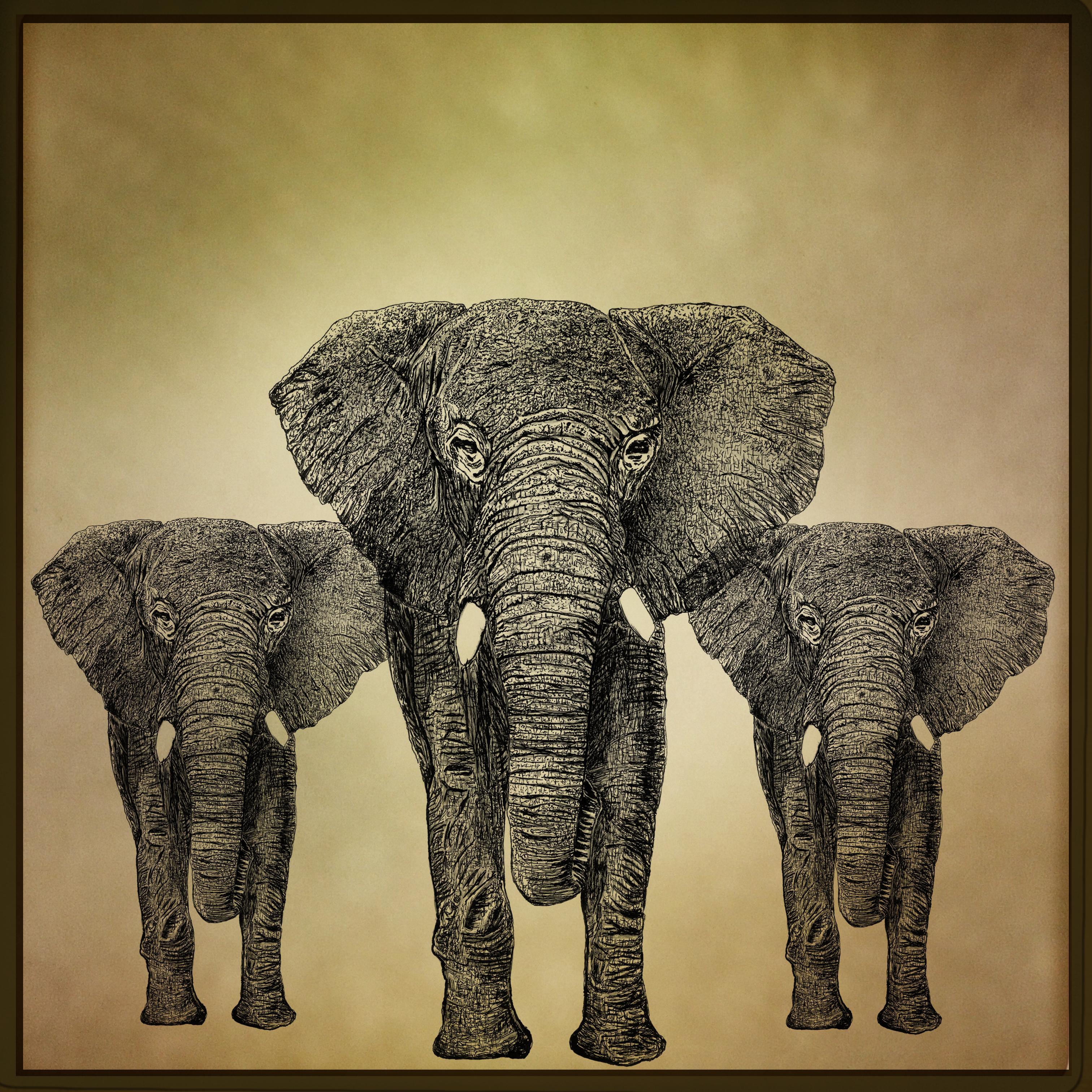 elephantus coronare franck auguste PITOI