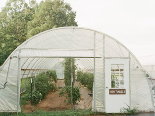 Tomatoes in High Tunnel 2