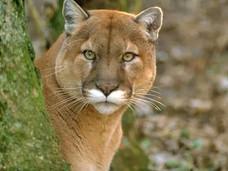 骑警队于邓肯地区发现美洲狮