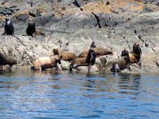 保护生态 维多利亚渔人码头禁喂海豹