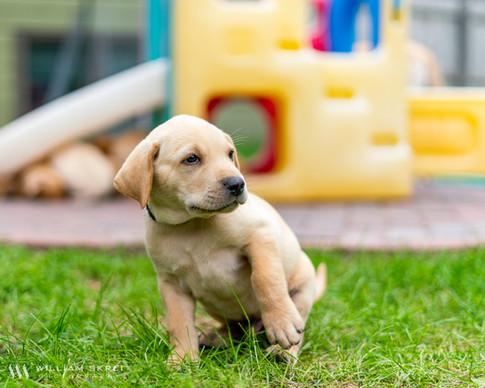 yellow-lab-puppy-3.jpg
