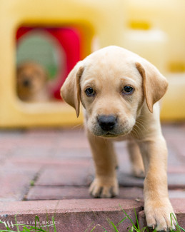 yellow-lap-puppy-1.jpg
