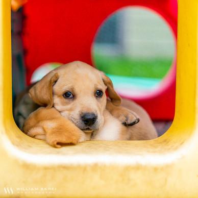 yellow-lab-puppy-2.jpg