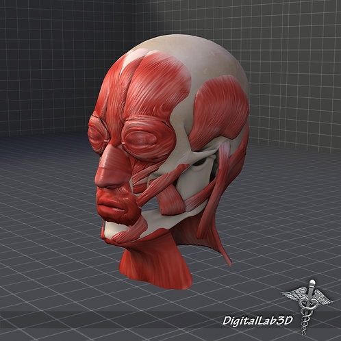 Human Facial Muscle Structure