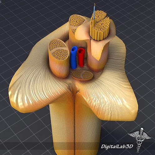 Nerve Anatomy