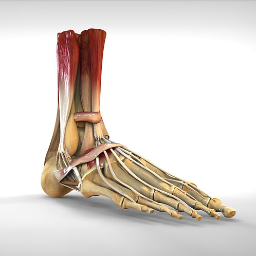 Foot Bone Muscle Structure