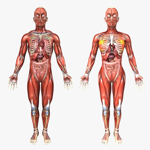 Human Male and Female Anatomy