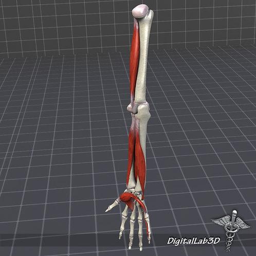 Human Arm Anatomy