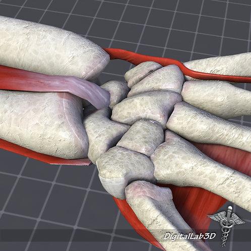 Human Wrist Anatomy