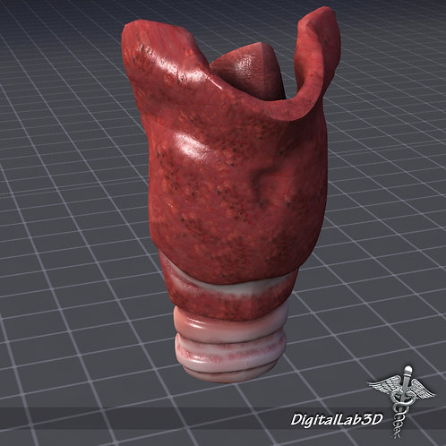 Human Throat Anatomy