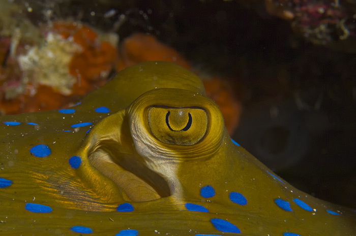 Blue Spotted Sting Ray Eye