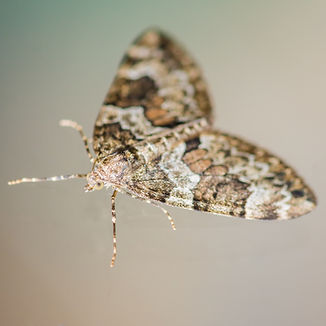 A macro shot of a spruce carpet moth..jp