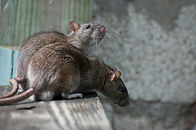 Brown Rat.jpg
