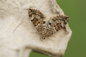 A beautiful Common Carpet Moth, Epirrhoe