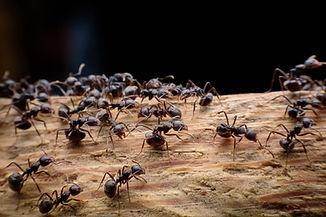 black ants on wood.jpg