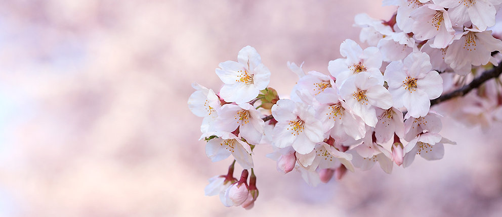 sakura-cerisiers-tokyo-printemps-florais