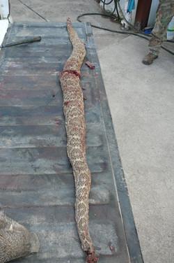 Rich's snake texas.JPG