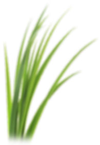 kisspng-lemongrass-vetiver-leaf-clip-art