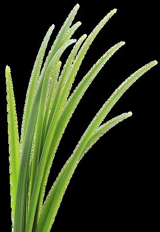 kisspng-lemongrass-vetiver-leaf-clip-art