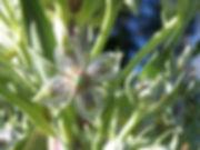 green cross gentian.jpg