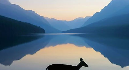 Photo: Kevin LeFevre      [Image: Silhouette of a doe treading ankle-deep through the waters of Bowman Lake in Glacier National Park at dawn. The horizon is ringed with blue mountains.]