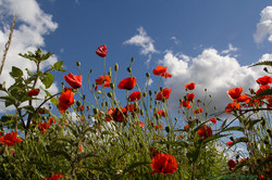 Poppies by the roadside (2)