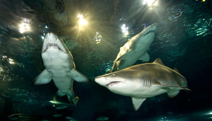 sharks 2.jpg