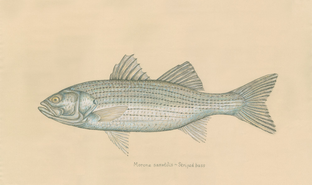 Stripped Bass Colored.jpg