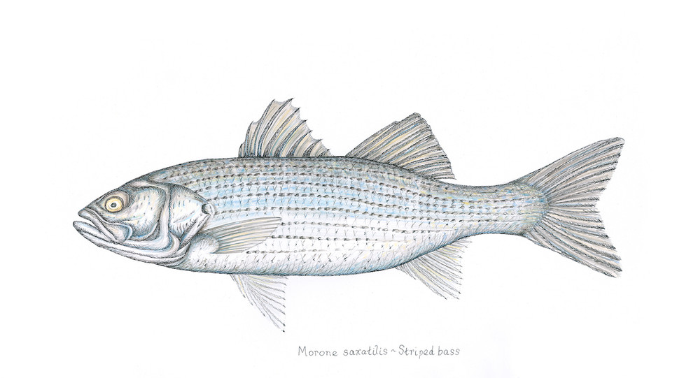 striped bass colored v 2.jpg