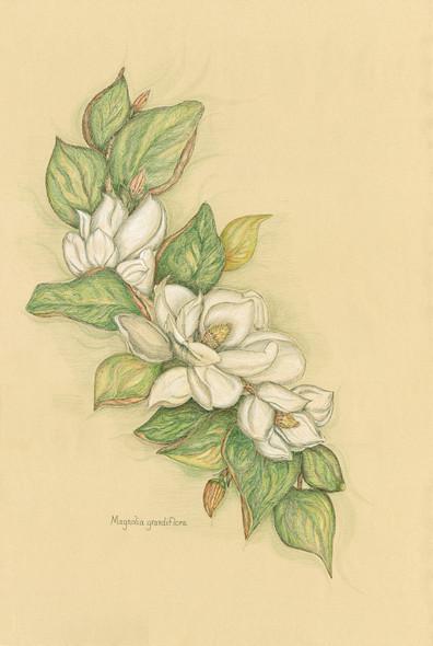 Magnolia Grandiflora webready.jpg