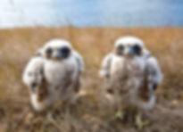 Gyrfalcon chicks.jpg