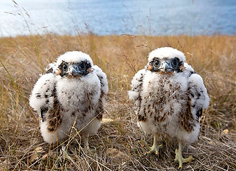 Gyrfalcon chicks.jpg