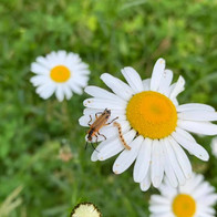 m-brady-daisy-bugs.jpg