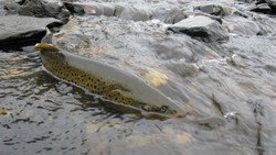 Newfoundland brown trout