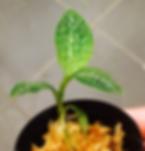 【ジュエルオーキッド・宝石蘭】マコディシア 'レモン&ライム'