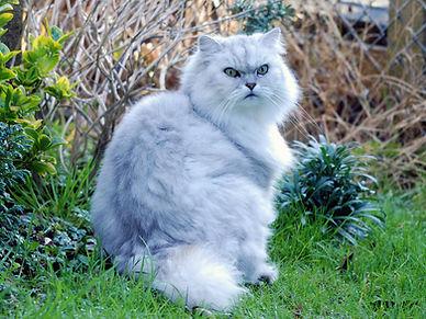 Chinchilla_cat_(3074511696).jpg