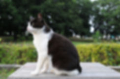 Black_and_white_cat_in_a_park-Hisashi-01