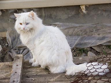 White_cat_Krasnaya_polyana.jpg